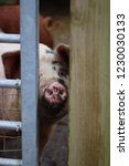 pig poking snout through gate... | Shutterstock . vector #1230030133
