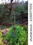 fir tree growing from moss   Shutterstock . vector #1230077053