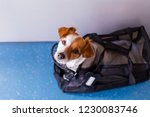Stock photo cute small dog in his travel cage ready to get on board the airplane at the airport pet in cabin 1230083746