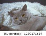 fat gray cat breed british lies ... | Shutterstock . vector #1230171619