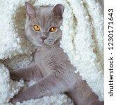 fat gray british cat lies on a... | Shutterstock . vector #1230171643