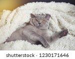 fat gray british cat lies on a... | Shutterstock . vector #1230171646