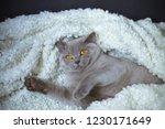 fat gray cat breed british lies ... | Shutterstock . vector #1230171649
