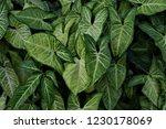 tropical green climbing plant... | Shutterstock . vector #1230178069