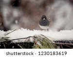 adorable black and white junco... | Shutterstock . vector #1230183619