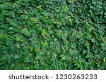 the wall leaf green. | Shutterstock . vector #1230263233