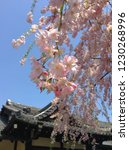 a weeping cherry tree in public ... | Shutterstock . vector #1230268996