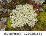 tundra flora. lichen bush with... | Shutterstock . vector #1230281653