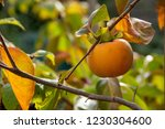 Persimmon Fruit On His Tree ...