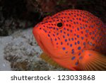 Coral hind (Cephalopholis miniata) in the coral reef - stock photo