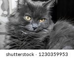 gray fluffy cat lying on the... | Shutterstock . vector #1230359953