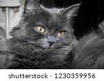 gray fluffy cat lying on the... | Shutterstock . vector #1230359956
