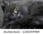 gray fluffy cat lying on the... | Shutterstock . vector #1230359989