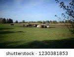 galloway cattles on green...   Shutterstock . vector #1230381853