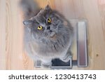 the gray big long haired... | Shutterstock . vector #1230413743