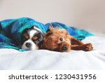 two dogs sleepeing together...   Shutterstock . vector #1230431956