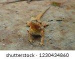 closeup standing iguana   Shutterstock . vector #1230434860