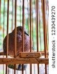 the spotted dove or  spilopelia ... | Shutterstock . vector #1230439270