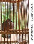 the spotted dove or  spilopelia ... | Shutterstock . vector #1230439276