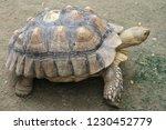 Stock photo sulcata tortoise africa spurred tortoise tsulcata turtle land turtle tortoise 1230452779