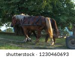 two working horses are pulling... | Shutterstock . vector #1230460693