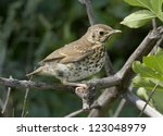 song thrush chick sitting on a... | Shutterstock . vector #123048979