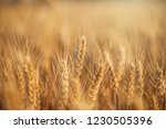 wheat in the farm | Shutterstock . vector #1230505396