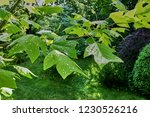 large leaves of a tulip tree of ... | Shutterstock . vector #1230526216