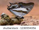 butterflies eat dung. butterfly ... | Shutterstock . vector #1230554356