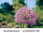 decorative onion flowers in...