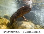 Japanese Giant Salamander In...