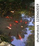 Koi Fishes Crowding In The Pond
