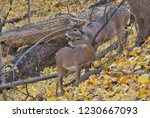 Whitetail Buck And Doe During...