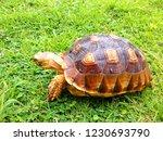 Turtles Sukata Are Walking In...