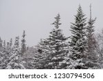 A Cluster Of Tall Trees With...