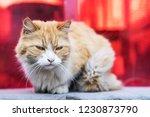 homeless cat. old fluffy cat.... | Shutterstock . vector #1230873790