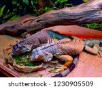 the  iguana  is a large... | Shutterstock . vector #1230905509