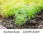 fresh green leaves of dill with ... | Shutterstock . vector #1230914269