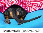 dog sleep rest in the bed ... | Shutterstock . vector #1230960760