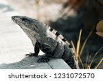 iguana on the beach in mexico... | Shutterstock . vector #1231072570