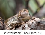 a cute juvenile desert spiny... | Shutterstock . vector #1231109740
