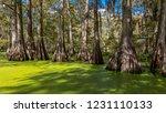 OCTOBER 14, 2018 - Lafayette, Louisiana, USA - Old Cypress trees in Cajun Swamp & Lake Martin, near Breaux Bridge and Lafayette Louisiana