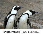 penguins in africa   Shutterstock . vector #1231184863