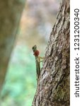 gliding lizards   draco is a... | Shutterstock . vector #1231200340