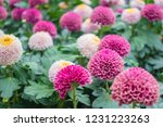 beautiful flower in the nature... | Shutterstock . vector #1231223263