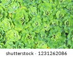 top view of water lettuce or it'... | Shutterstock . vector #1231262086