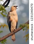 young changeable hawk eagle or... | Shutterstock . vector #1231340470