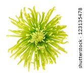 Green Disbud Spider Mum Flower...