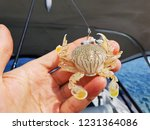 reef baby crab from moreton bay ... | Shutterstock . vector #1231364086