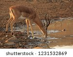 solitary male impala drinking...   Shutterstock . vector #1231532869